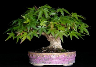acer_bicudo_bonsai web