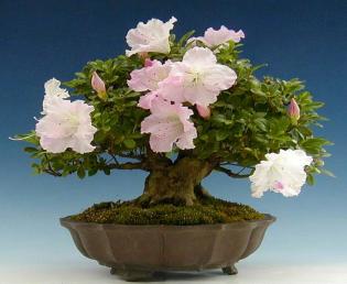 azaleia rosa bonsai