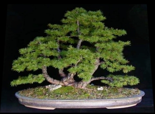 juniperus_bonsaiweb